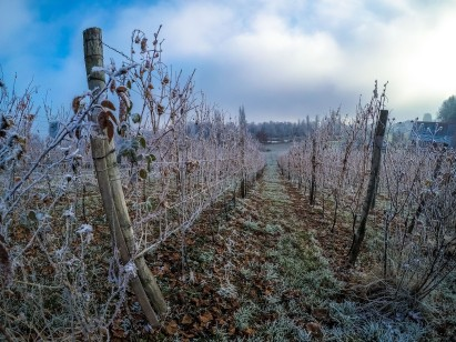 Frozen Grape Fields
